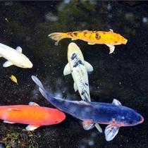 池の鯉も皆様のお越しをお待ちしております