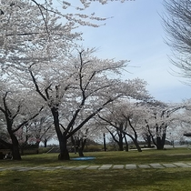 八戸城址公園【青森県八戸市】 桜