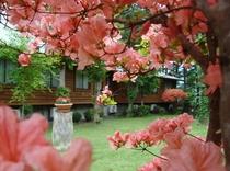 中庭に咲いた満開のツツジ(5月25日頃〜)
