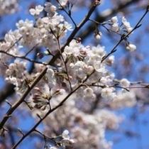 一目千本桜や城下町白石の桜も素敵です
