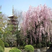 伝法院(桜)