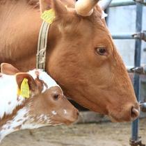 【ハイジ牧場】牛さんの親子