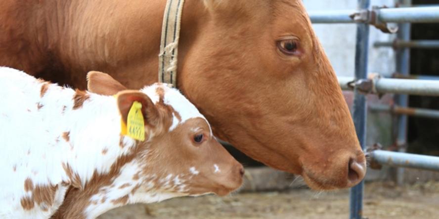 【ハイジ牧場】牛の親子