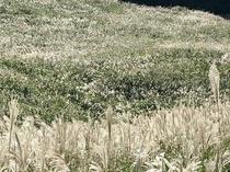 仙石原のすすきの原