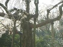 長興寺の枝垂桜