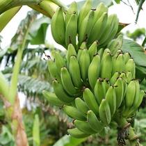 *島バナナ