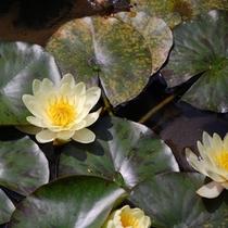 池の睡蓮 金魚もいる池で可憐に咲く睡蓮