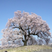 *【周辺】わに塚の桜。市の指定天然記念物。八ヶ岳や茅が丘を一緒に眺められ、まさに絶景です。