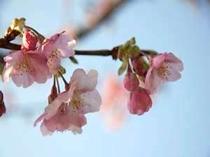 河津桜は2月中旬頃が見ごろ