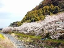 千歳川沿いの桜【4月上旬~】