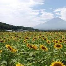 ≪山中湖周辺≫花の都公園〜ひまわり