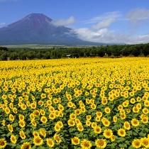 夏の山中湖・富士山とひまわり