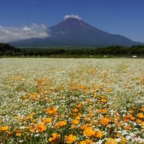 山中湖 富士山とカスミソウとポピー