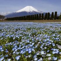 富士山とネモフィラ