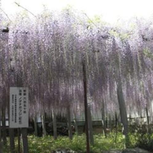樹齢約650年「骨波田の藤」①