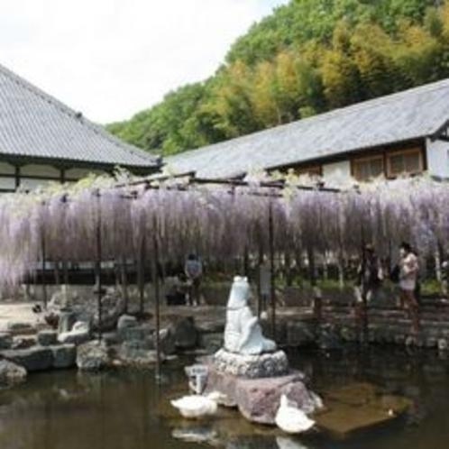 樹齢約650年「骨波田の藤」④