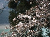 4月8日 開花状況