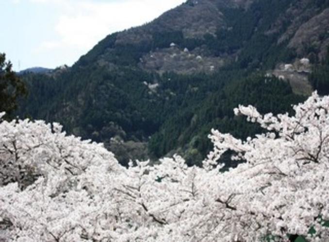 深山から見た桜