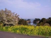 菜の花と山桜