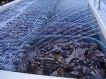 桂島の牡蠣
