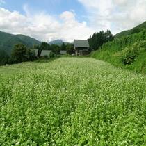 奈川のそば畑