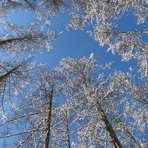 【冬】カラマツ林の雪景色