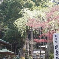 延寿院のしだれ桜も萌える緑色。