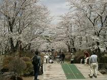 聖光寺の桜―お車で当館から5分。毎年4月下旬から5月上旬が見頃です♪