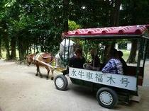 フクギ並木を水牛車に乗って、のんびり散策♪(宿から歩いて8分)