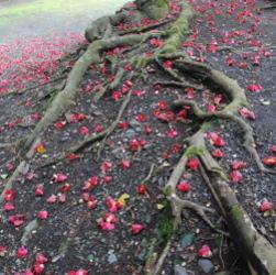 花尻の落ち椿