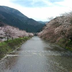 大原川の山桜