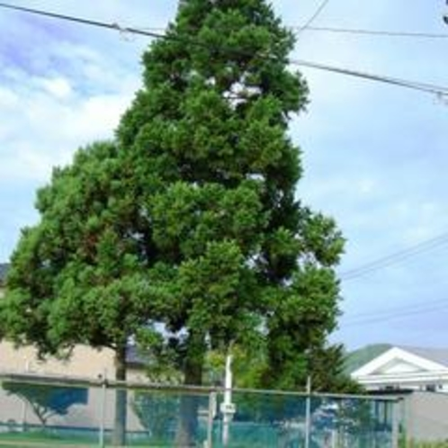 おやこの木(すぎの木)