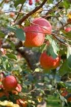 おすすめスポット〜りんご狩り