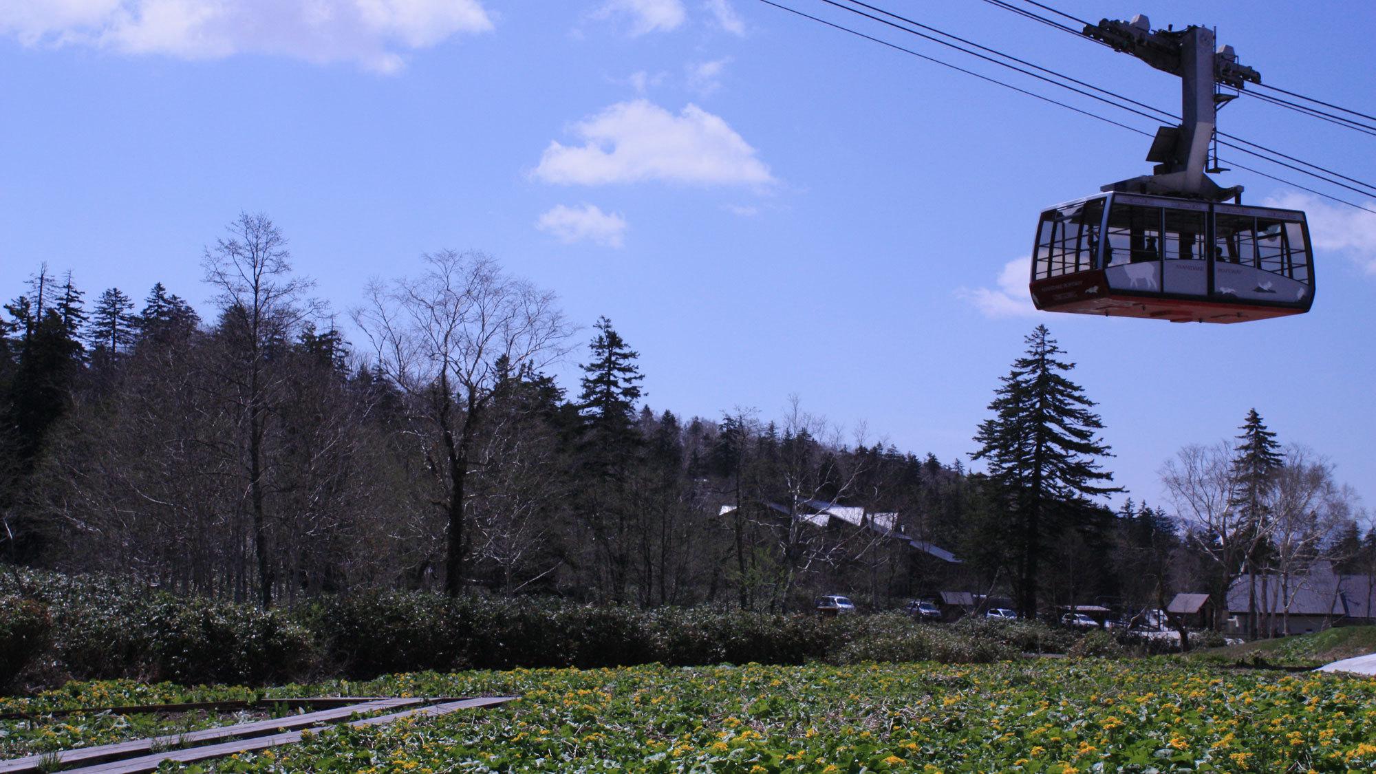 旭岳ロープウェイ山麓駅の前に毎年5月下旬〜6月中旬に咲くエゾノリュウキンカと水芭蕉の大群落