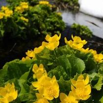 雪解けに咲く花・春