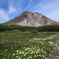 高山植物が咲き誇る旭岳・ピークは例年7月中旬