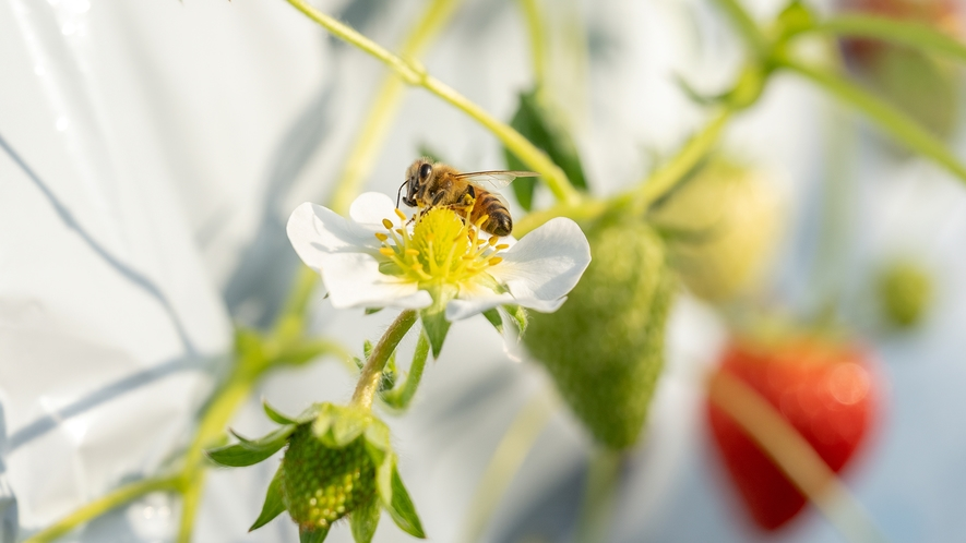 当館のいちごが美味しいのはミツバチの活躍のおかげ♪