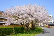 今年も桜が綺麗に咲きました♪
