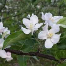 *【かみくら周辺の景色:春】可愛らしいリンゴの花が咲いております