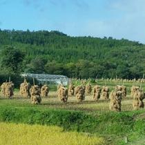 *【かみくら周辺の景色:秋】約2メートルに積み上げられた稲藁。迫力満点で観光客にも密かに人気です