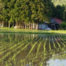 *【かみくら周辺の景色:春】GW明けに撮影した当館周辺の田んぼです