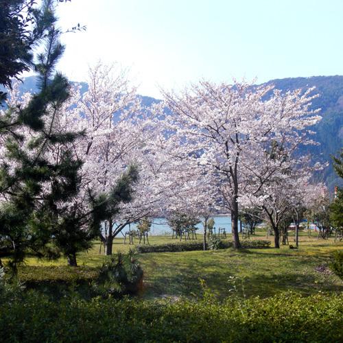 客室から見える桜