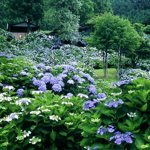 【舞鶴自然文化園】春は3万本のツバキ園、初夏は10万本のアジサイ園が見所(当館より車で約95分)