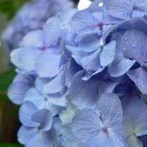 駐車場横に咲く紫陽花