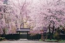 桜色に染まる角館武家屋敷