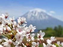 GWに咲く山桜