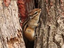 ニセコの森に住むエゾリス