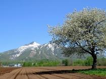 残雪残るアンヌプリと5月初旬の桜