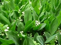 庭の花々、スズラン