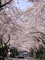 桜並木(染井吉野)